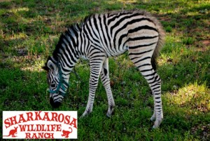 Half Off Adult Admission to Sharkarosa Wildlife Ranch!