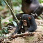 Disneynature's CHIMPANZEE Free Educator's Guide!
