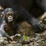 """SEE 'CHIMPANZEE,' SAVE CHIMPANZEES"" PROGRAM EXTENDED!!"
