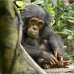 Naptime or Playtime from CHIMPANZEE