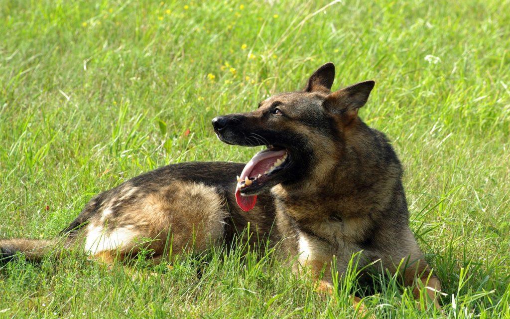 Adopting German Shepherds