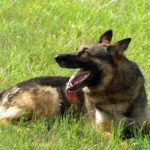 Adopting German Shepherds in Texas