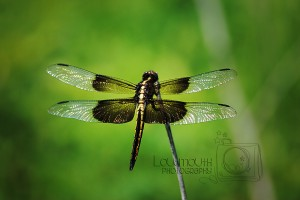 Dragon Fly, Wordless Wednesday with Linky!
